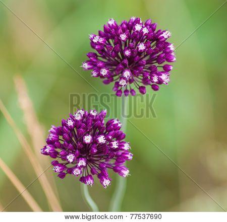 Flowering Allium On A Green Background