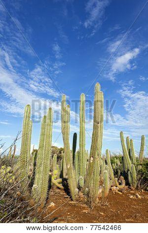 Typical column cactus of Curacao - Subpilocereus repandus