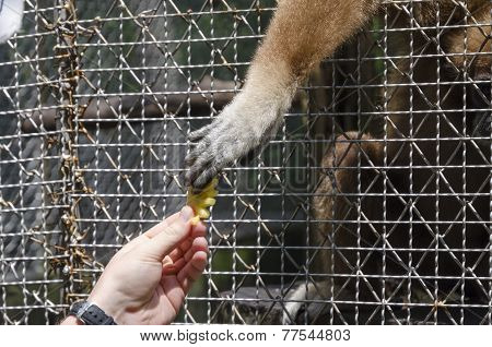 The paw of Long-armed gibbon (lat. Hylobates), taking pineapple from the hand of man