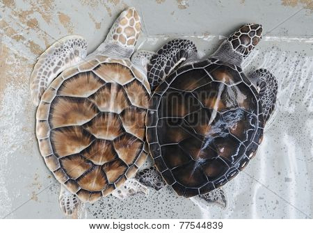 Two Green Sea Turtles in the water (lat. Chelonia mydas)
