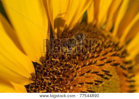 bee on sunflower extracts honey