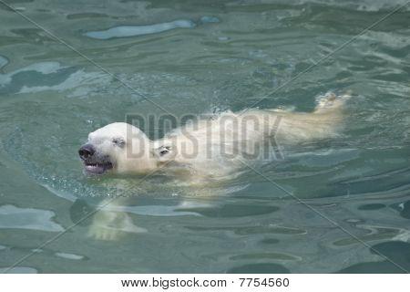 Little Polar Bear Swimming