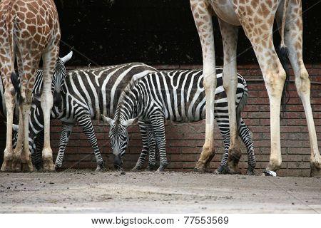 Selous' zebras (Equus quagga selousi) and Rothschild's giraffes (Giraffa camelopardalis rothschildi).