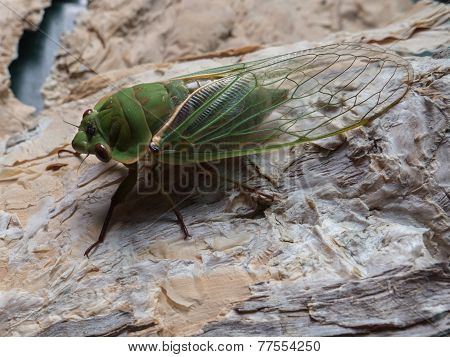 macro of a cicada carcass on tree bark
