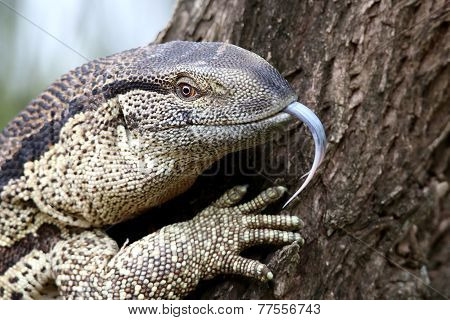 Leguaan Or Water Monitor Reptile