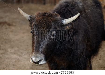 Portrait Of A Female Yak
