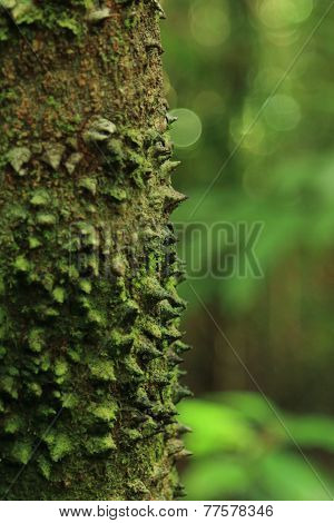 Sharp defensive thorns on tree, Corcovado National Park.