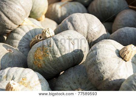 Blue Blauer Hokkaido Cucurbita Pumpkin Pumpkins From Autumn Harvest