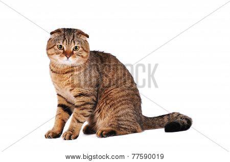 Scottish Fold Cat Portrait