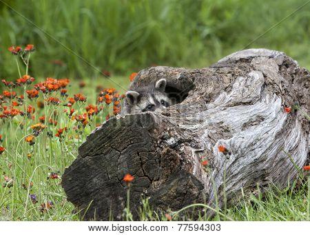 Raccoon Peeking Out of Den