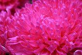 stock photo of chrysanthemum  - Chrysanthemum flowers - JPG