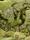 stock photo of epiphyte  - Moss covered Granite Boulders & Oak Tree with epiphytic mosses lichens and ferns