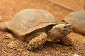 picture of testudo  - Crawling tortoise in the nature at the zoo