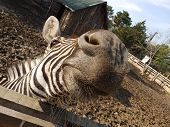 stock photo of eat me  - A zebra trying to eat something from me - JPG