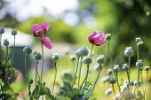 stock photo of opium  - Opium poppy flower - JPG