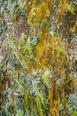stock photo of lichenes  - Old rotting wood covered by moss and lichen - JPG