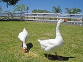 White Domestic Goose poster