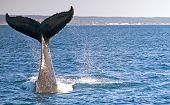 foto of whale-tail  - The Tail of a Diving Humpback Whale in Hervey Bay Australia