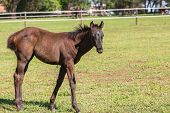 image of colt  - Horse mare and foal colt on stud farm field - JPG