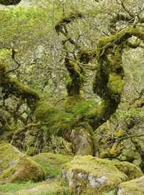 image of epiphyte  - Moss covered Granite Boulders & Oak Tree with epiphytic mosses lichens and ferns