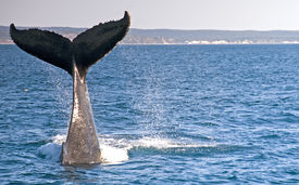 stock photo of whale-tail  - The Tail of a Diving Humpback Whale in Hervey Bay Australia