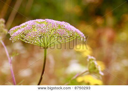 Inflorescence (umbel) Of Plant From Family Umbelliferae