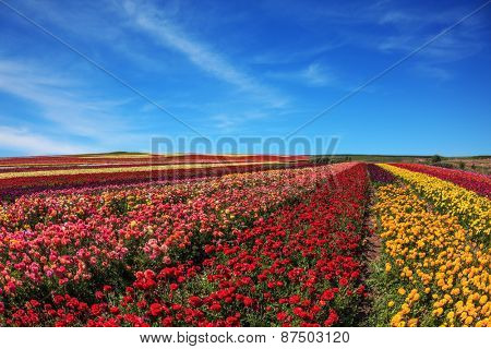 Flowers planted with broad bands of different colors. Spring fine day. Field of multi-colored decorative flowers buttercups Ranunculus