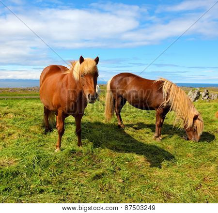 Two Icelandic horses with yellow  manes on a free pasture. Summer in Iceland