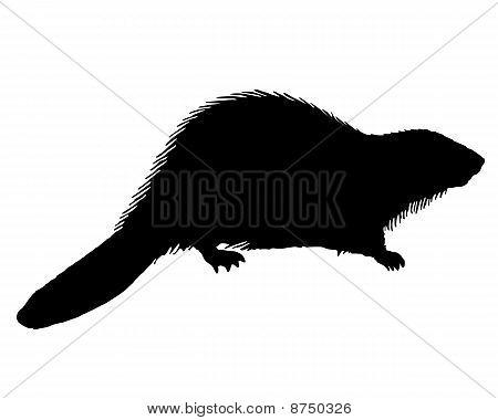 Castor negro