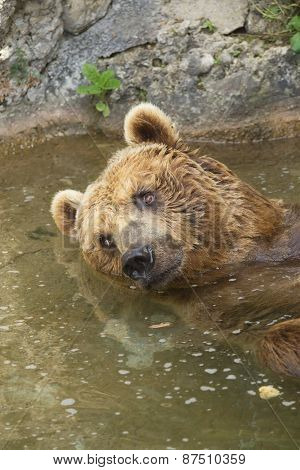 Brown Bear Taking A Bath In The Lake.