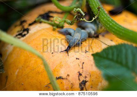 Slug Crawling On A Ripe Pumpkin.
