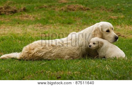 Golden retriever mother and pup