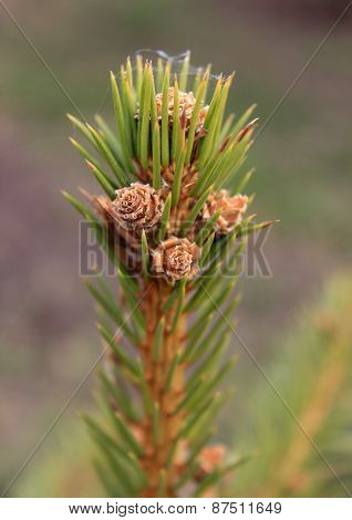 Fir twig with young cones