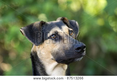 German Shepherd Dog Closeup Outdoors Head And Face