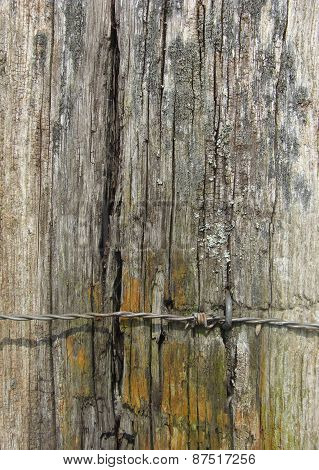 Worn Wooden Post With Barb Wire And Mold