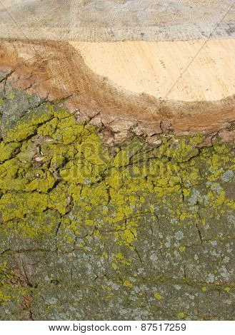 Detail Of A Cut Log Tree With Spurs And Mould