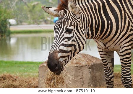 zebra feeding grass