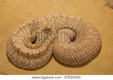 A Mojave Green Rattlesnake Found
