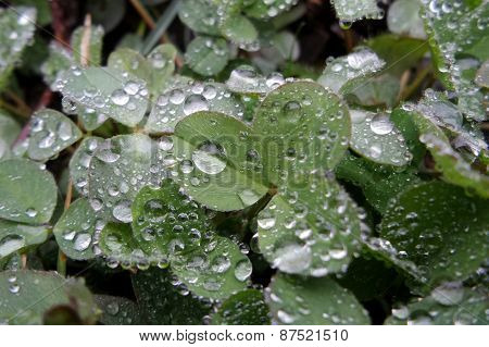 Green leafs with dew