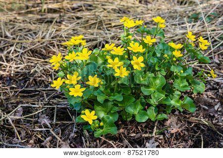 Yellow Flowering Marsh-marigold From Close