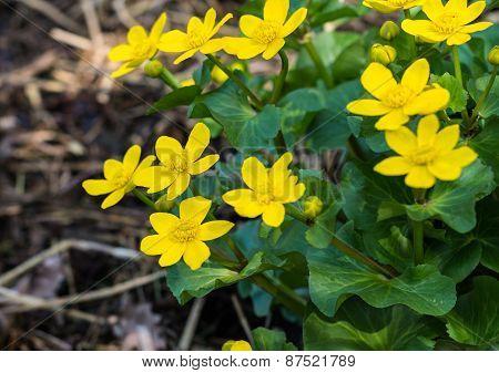 Yellow Flowering And Budding Marsh-marigold