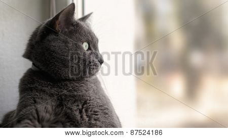 gray cat relaxed and looking through window