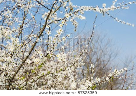 White Flowering Serviceberry  From Close