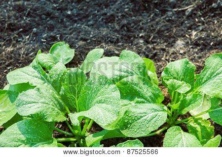 Fresh Vegetable In Plant Garden