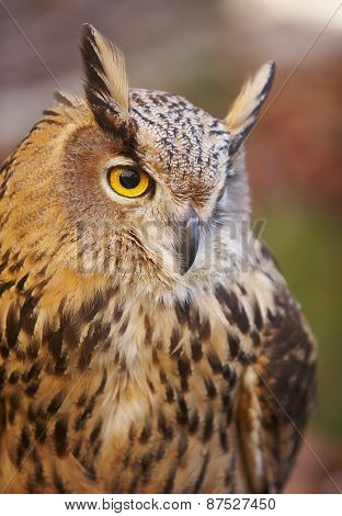 Owl With Yellow Eyes And Warm Background In Spain