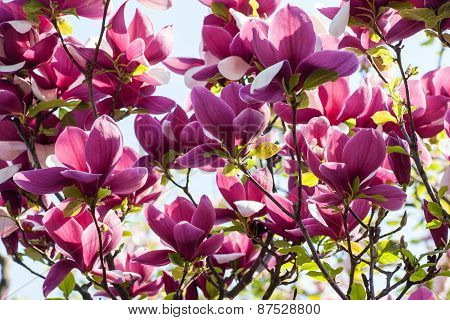 Blooming Magnolia Flowers On Sunny Day