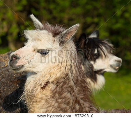 Two Alpacas in profile looking in opposite directions