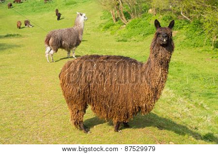 Hairy brown alpaca long shaggy coat South American camelid resembles small llama coat used for wool