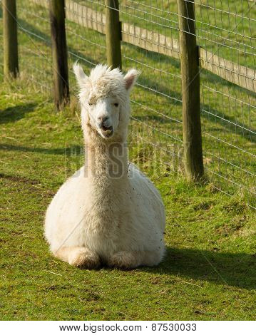 White Alpaca lying down like llama their coat is used for wool