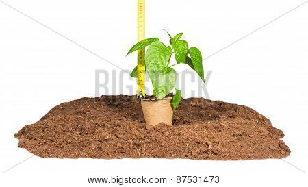 Ruler Measures  Height  Seedlings
